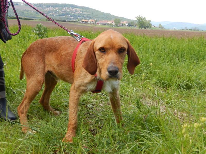 FAUVE (chien croisé fauve de Bretagne) 1dscn816
