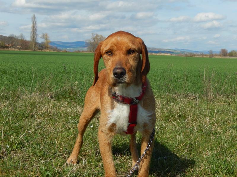 FAUVE (chien croisé fauve de Bretagne) 2dscn714