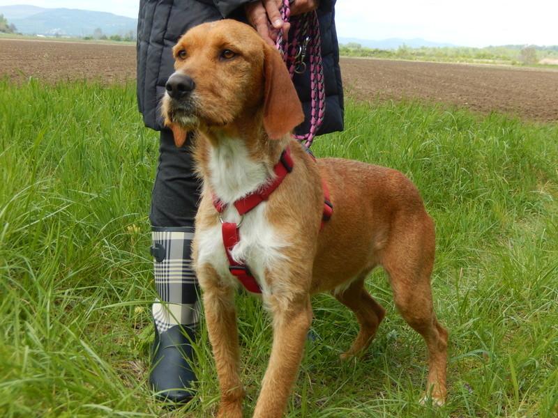 FAUVE (chien croisé fauve de Bretagne) 2dscn815