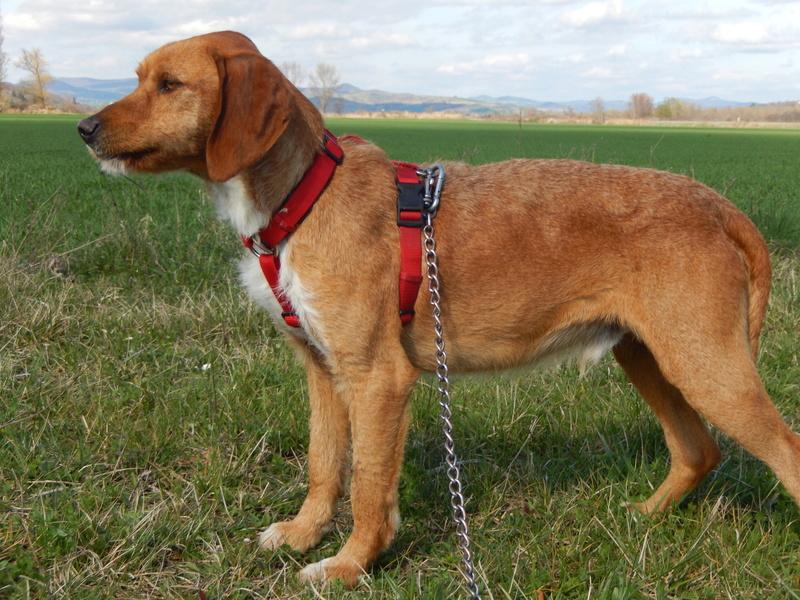 FAUVE (chien croisé fauve de Bretagne) 3dscn715