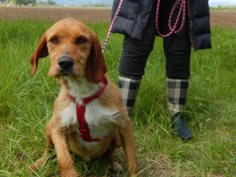 FAUVE (chien croisé fauve de Bretagne) 3dscn816