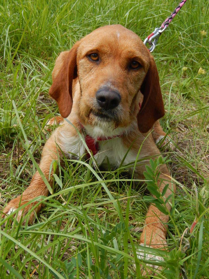 FAUVE (chien croisé fauve de Bretagne) 7dscn817