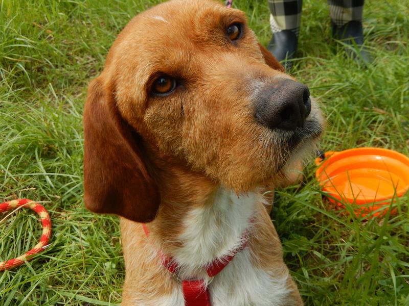 FAUVE (chien croisé fauve de Bretagne) 8dscn814