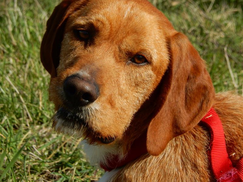 FAUVE (chien croisé fauve de Bretagne) X_dscn13