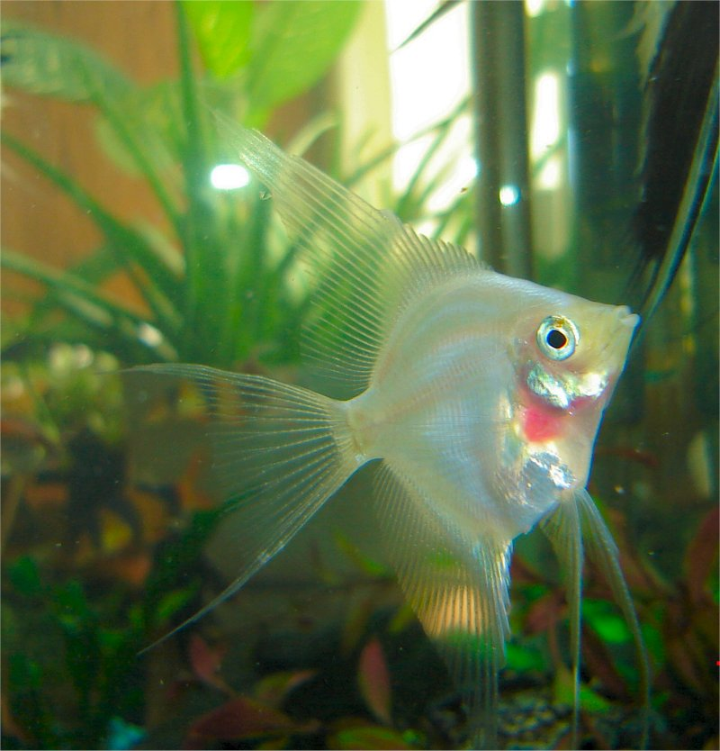 2nd. Can you Id this Angelfish???  Blushi10