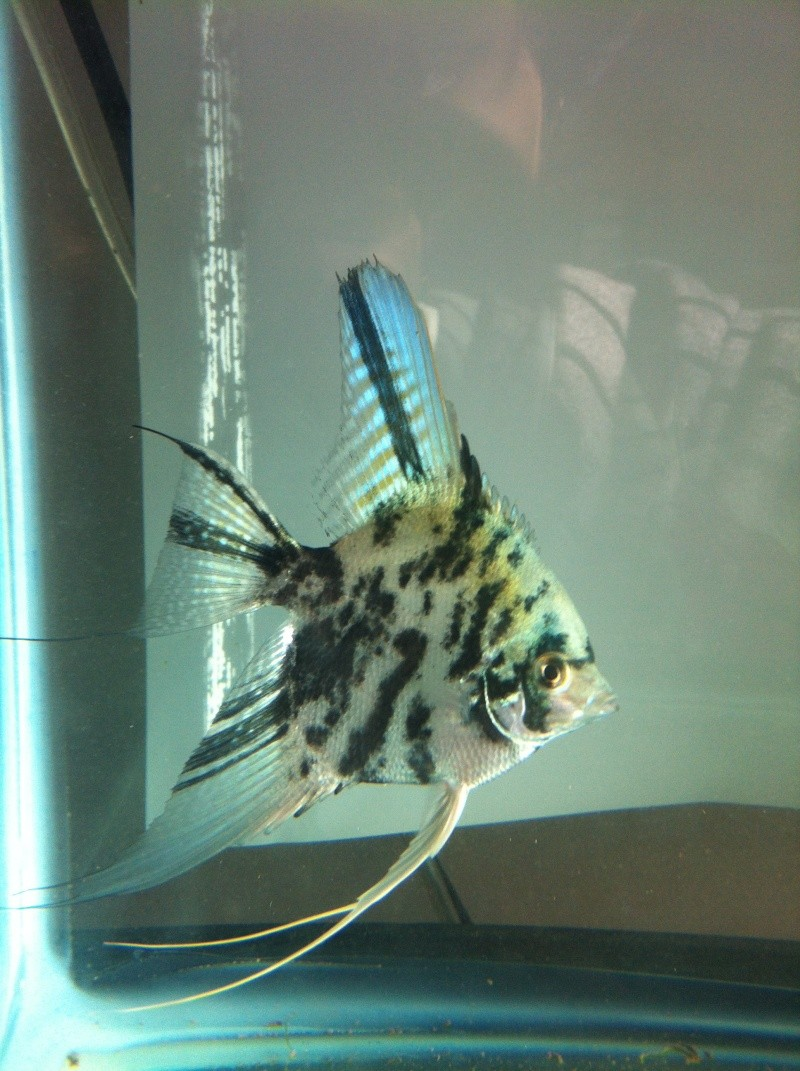 Pics of angelfish in daylight Image118