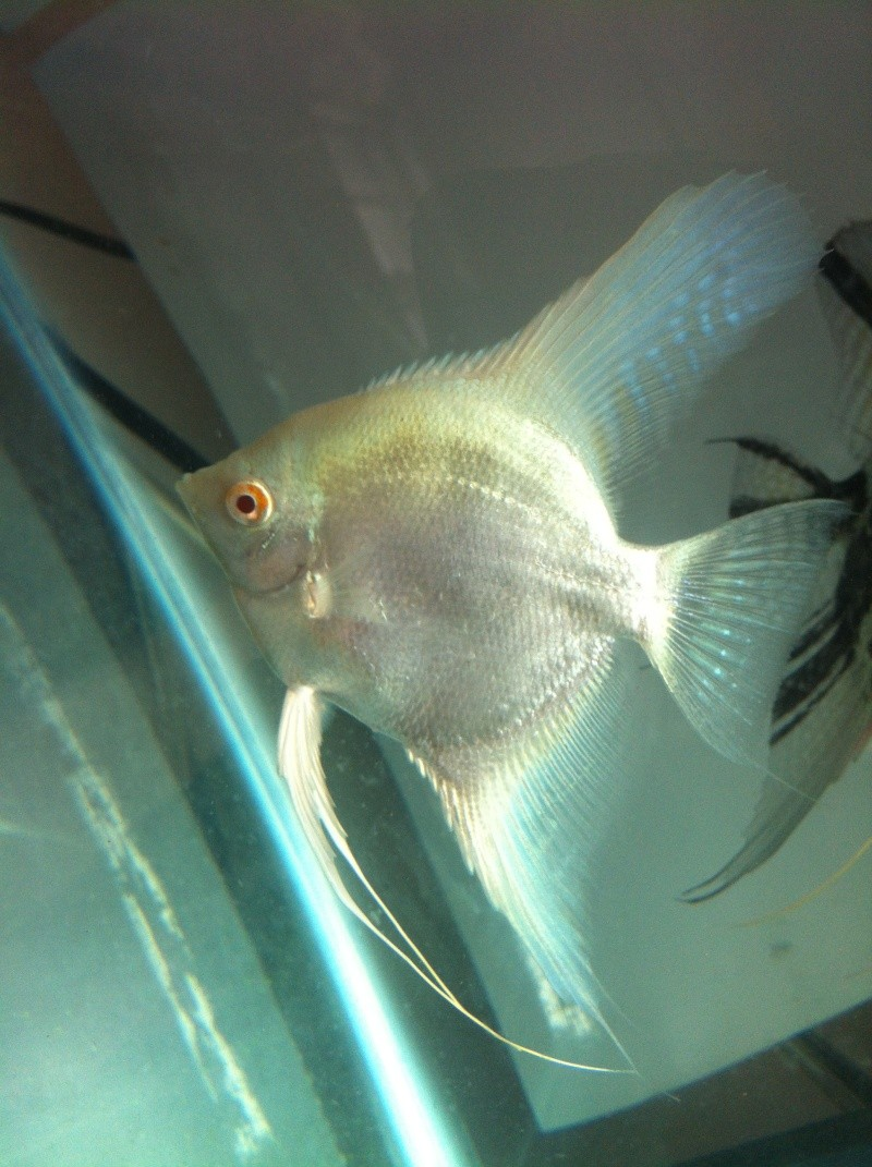 Pics of angelfish in daylight Image18