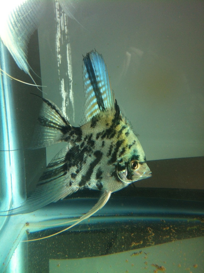 Pics of angelfish in daylight Image217