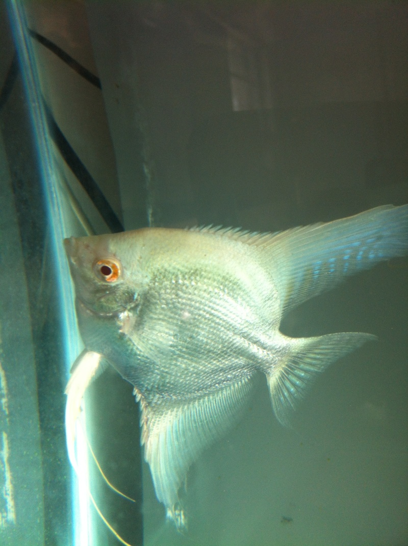 Pics of angelfish in daylight Photo15