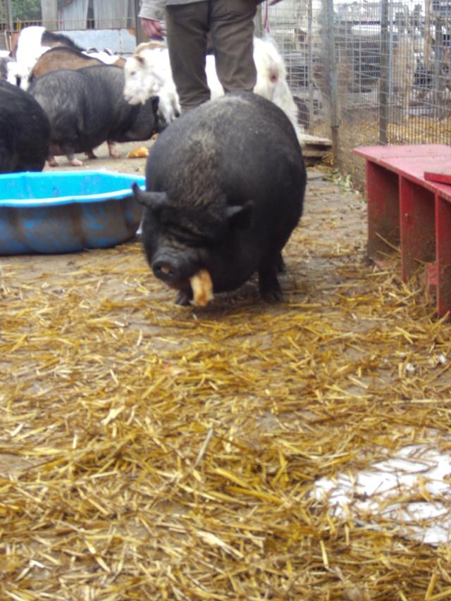 Parrainages pour les cochons Pict1322