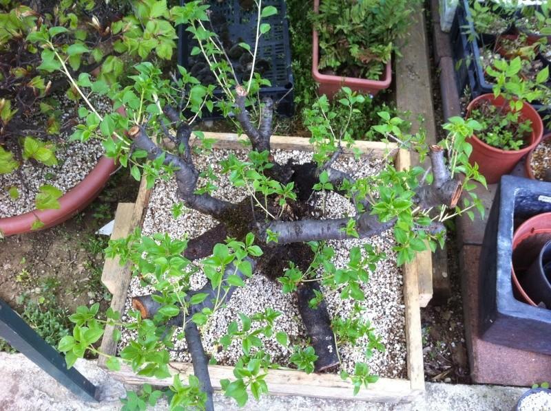 Storia di un Prunus Mahaleb... Prunus11