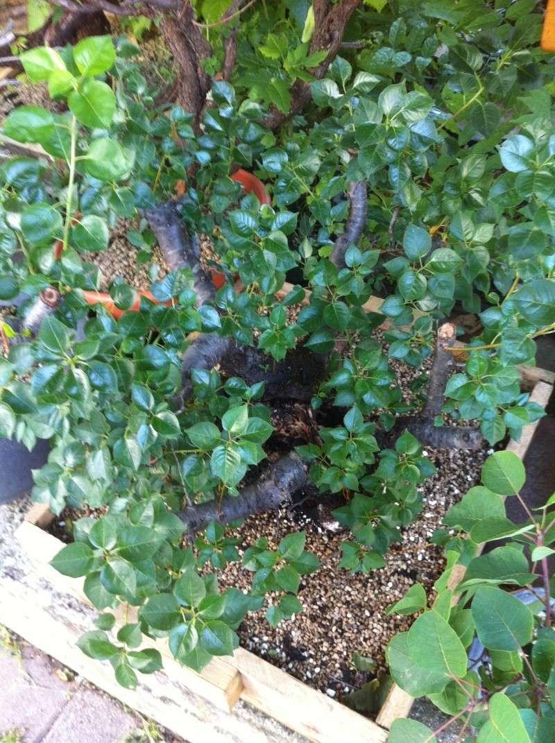 Storia di un Prunus Mahaleb... Prunus12
