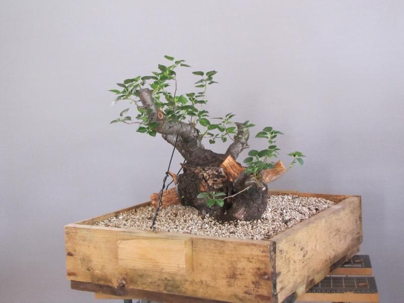 Storia di un Prunus Mahaleb... Prunus13