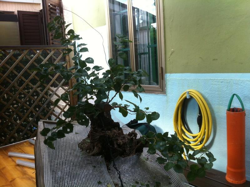 Storia di un Prunus Mahaleb... Prunus15