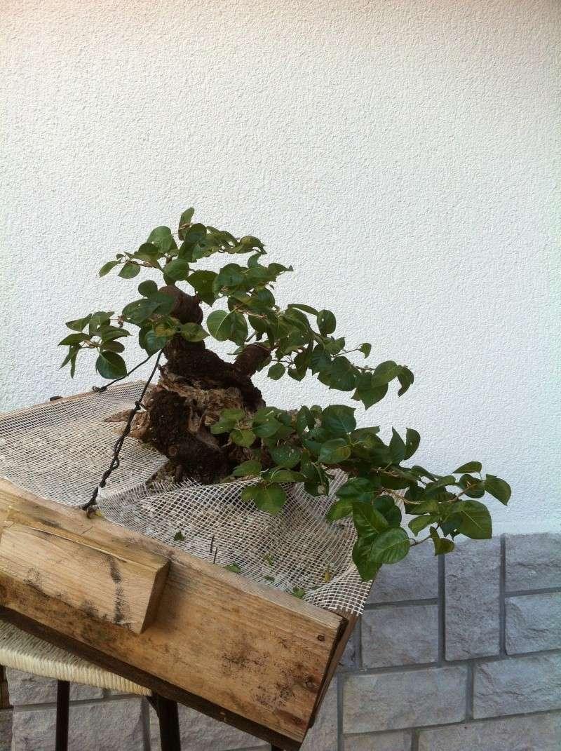 Storia di un Prunus Mahaleb... Prunus16
