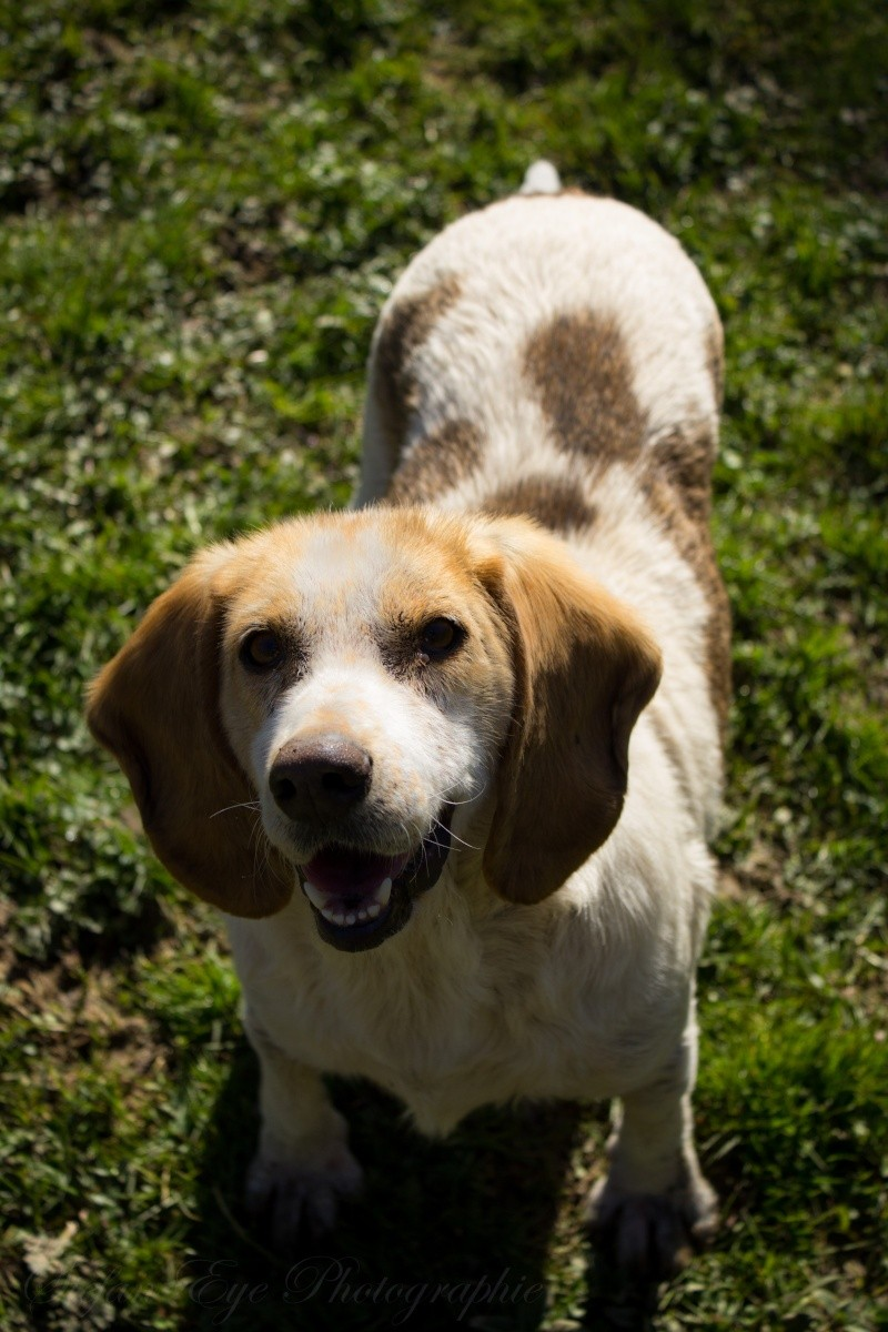 GAUFRETTE - x beagle 8 ans (dont 7 ans de refuge) - Refuge des Clochards Poilus à Tabanac (33) Gaufre13