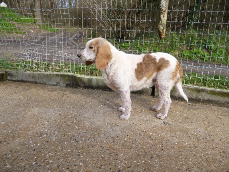 GAUFRETTE - x beagle 8 ans (dont 7 ans de refuge) - Refuge des Clochards Poilus à Tabanac (33) P1000422