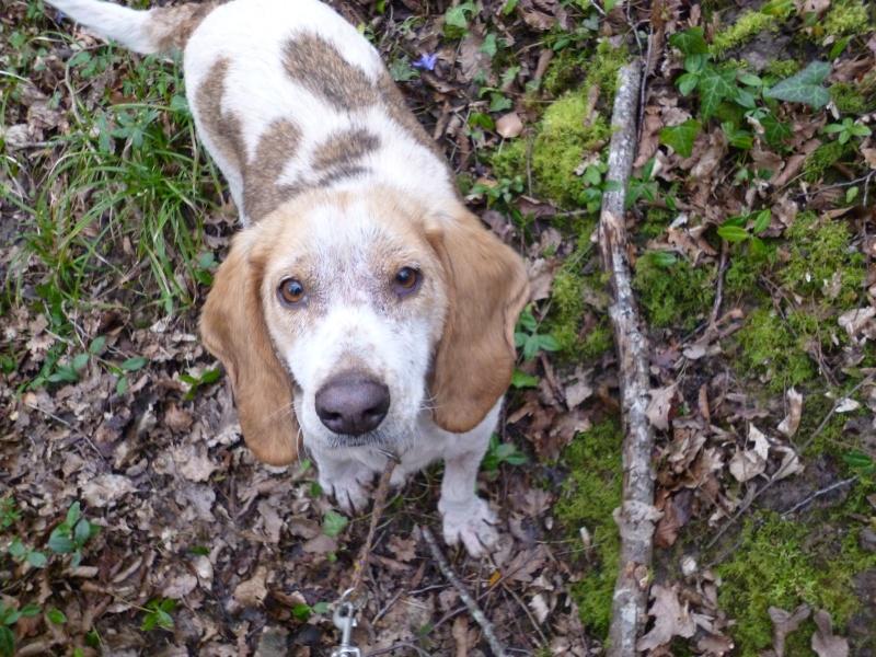 GAUFRETTE - x beagle 8 ans (dont 7 ans de refuge) - Refuge des Clochards Poilus à Tabanac (33) P1000518