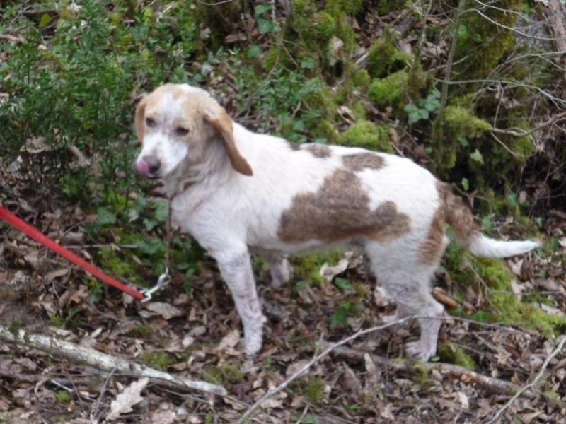 GAUFRETTE - x beagle 8 ans (dont 7 ans de refuge) - Refuge des Clochards Poilus à Tabanac (33) P1000519