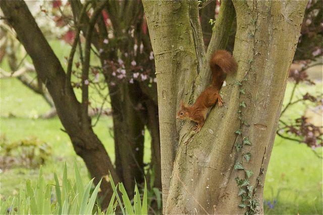 écureuil du jardin Acureu20
