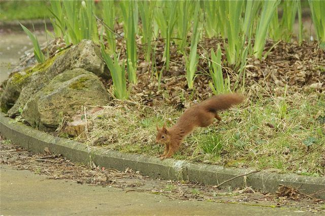 écureuil du jardin Acureu21