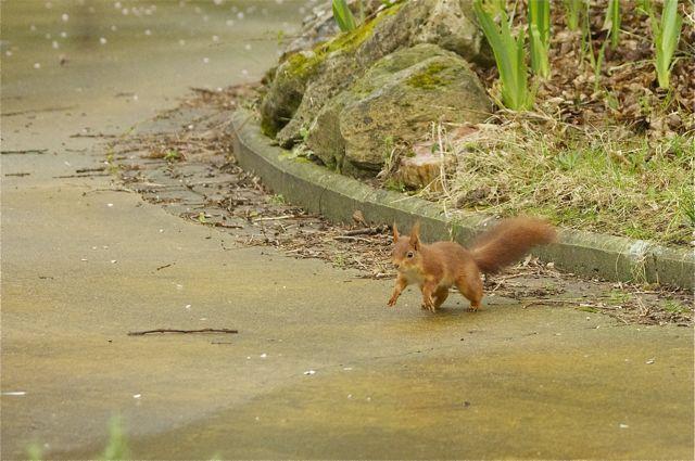 écureuil du jardin Acureu22