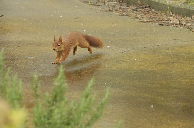 écureuil du jardin Acureu23