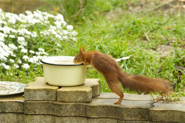écureuil du jardin Acureu24