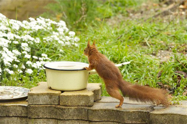 écureuil du jardin Acureu25
