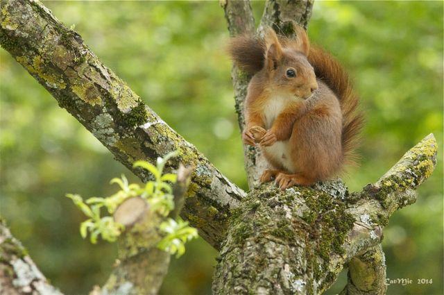 écureuil du jardin Acureu28