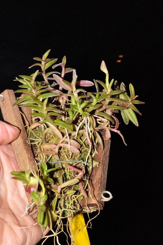 Epidendrum porpax 2017-015