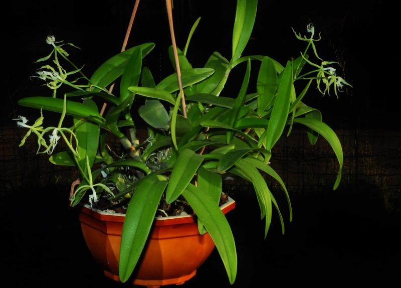 Epidendrum ciliare 2017-016