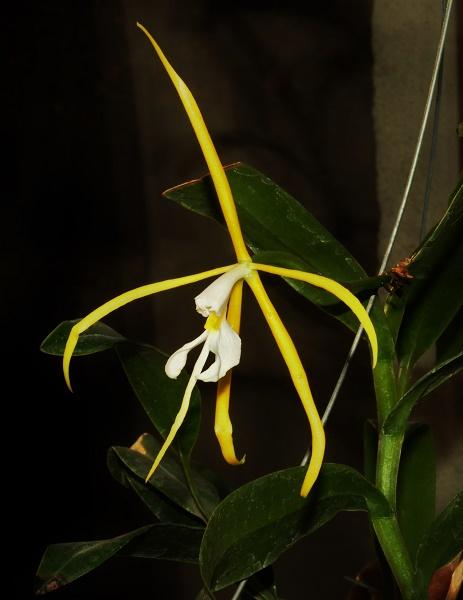 Epidendrum nocturnum 2017-037