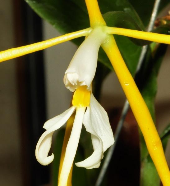 Epidendrum nocturnum 2017-038