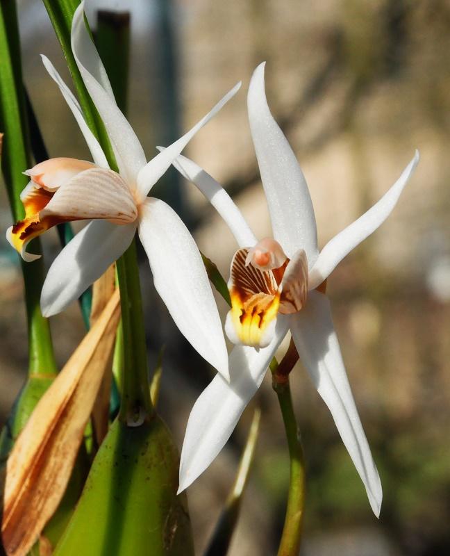 Coelogine graminifolia Coelog10
