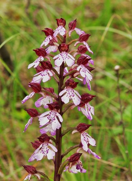orchidées indigènes Orchis11