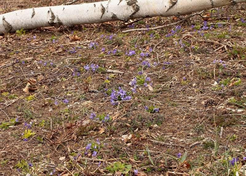Viola - Veilchen aller Art - Seite 4 Viola_13