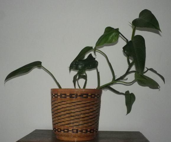 Philo xxx /// Philodendron erubescens ??? 04102011
