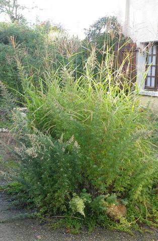 Miscanthus sinensis 'Zebrinus' !!! 04102027