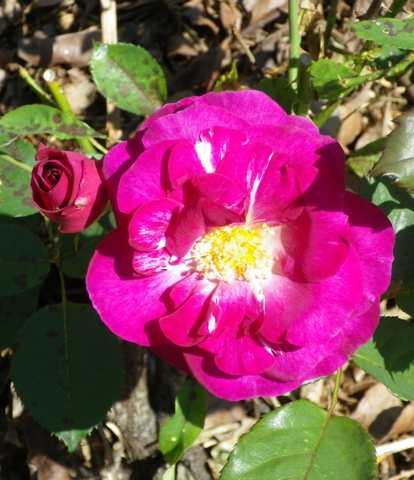 Rosa 'Violette Parfumée !!! - Page 3 17052017