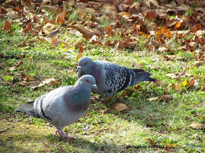 Pigeons récupérateurs Img_7013