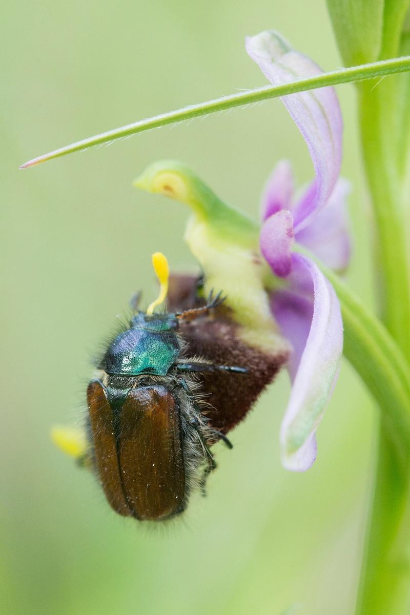 Pollinisateur sur Ophrys fuciflora Dsc_9311