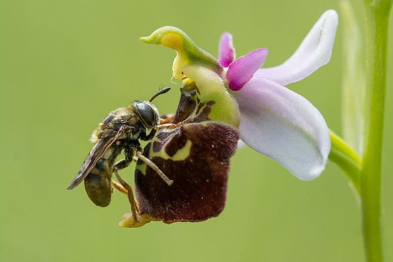 Festival de lusi sur Ophrys fuciflora Dsc_9410