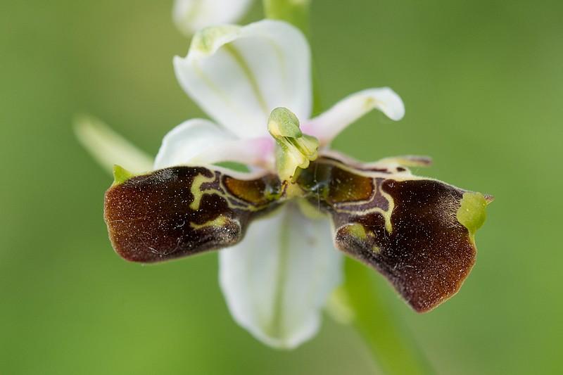 Festival de lusi sur Ophrys fuciflora Dsc_9412