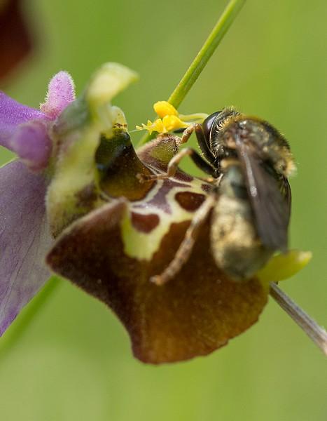 Festival de lusi sur Ophrys fuciflora Dsc_9413