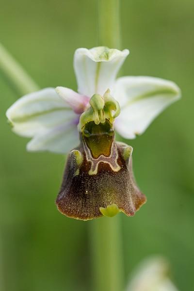 Festival de lusi sur Ophrys fuciflora Dsc_9414