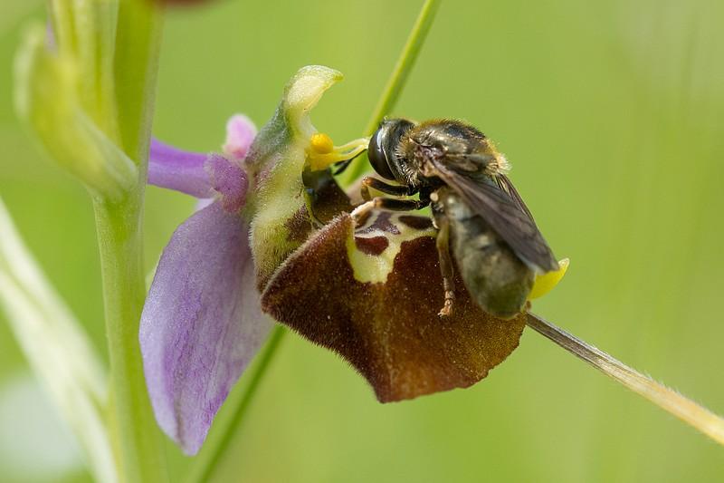 Festival de lusi sur Ophrys fuciflora Dsc_9415