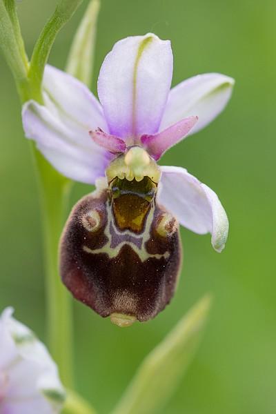 Festival de lusi sur Ophrys fuciflora Dsc_9416