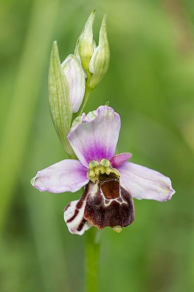 Festival de lusi sur Ophrys fuciflora Dsc_9418