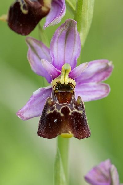 Festival de lusi sur Ophrys fuciflora Dsc_9420